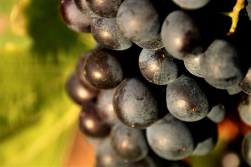 belle grappe (2)
