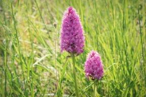 orchidées bis