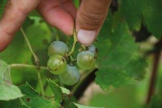 recolte vionnie